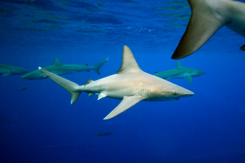 sandbar shark and galapagos sharks in deep water 3 miles off Hale'iwa, O'ahu