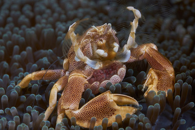Spotted Porcelain Crab (Neopetrolisthes maculatus) carrying eggs