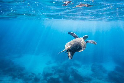 Swimming honu at the blowhole