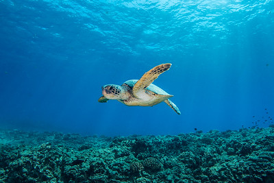 The Flying Honu