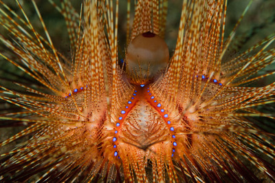Seeigel (Sea Urchin)