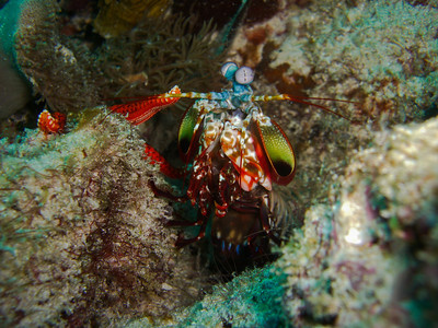 Schmetter-Fangkrebs (Mantis Shrimp)