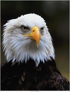 (unedited) Bald eagle / American eagle / Amerikaanse zeearend