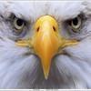 Bald eagle / American eagle / Amerikaanse zeearend