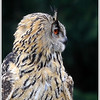 Eagle owl / Oehoe (unedited)