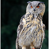 Eagle owl / Oehoe (unedited)