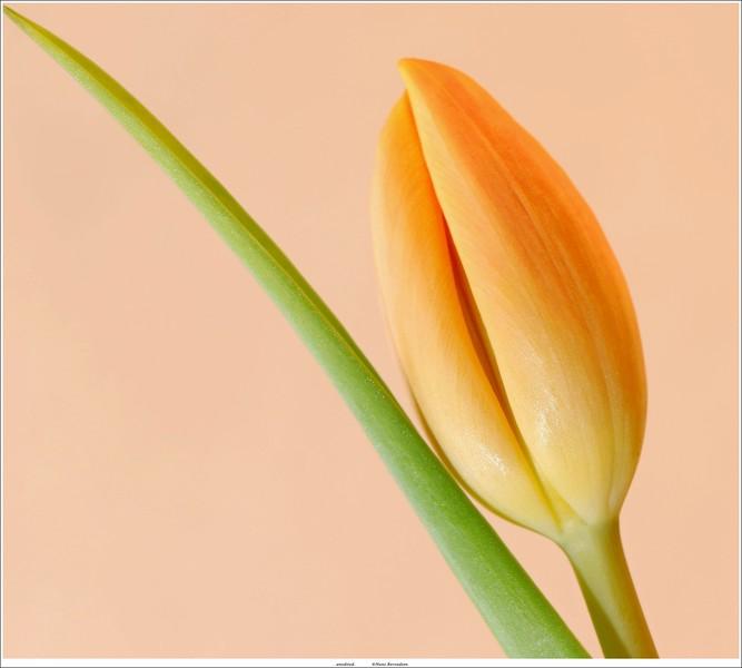 Tulip (unedited)