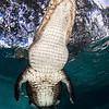Alligator Overhead!