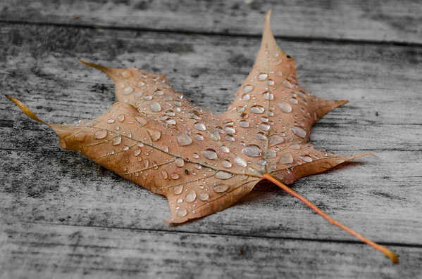 raindrops in maple...