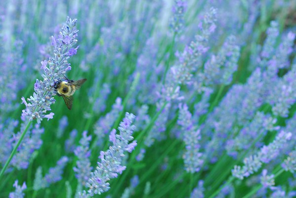 Honey Bees Love Provence Lavender