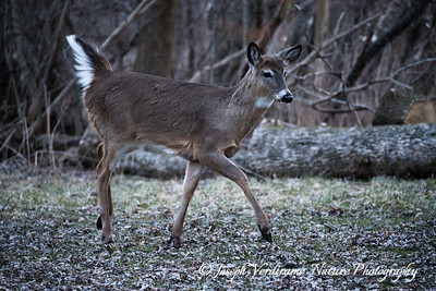 White-tailed doe on alert