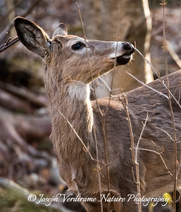 Young White-tailed buck browsing