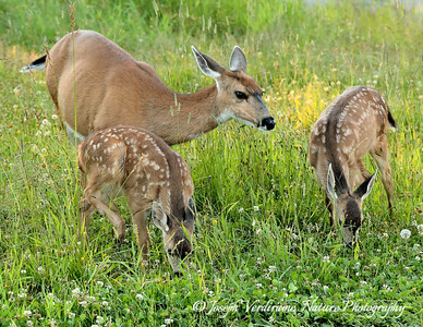 Happy Mule Deer family
