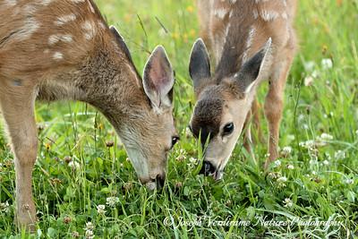 Mule Deer twins (1)