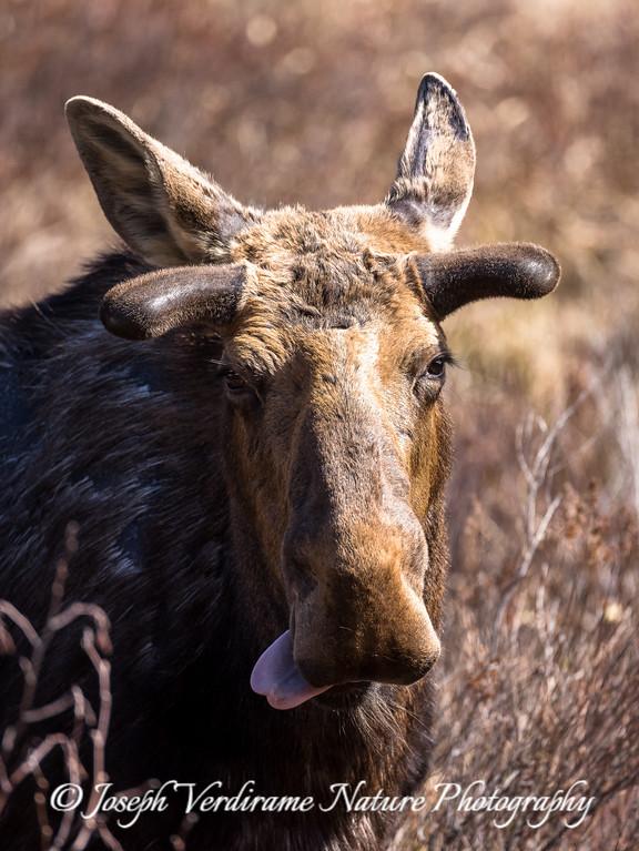 Bull Moose enjoys a tasty morsel