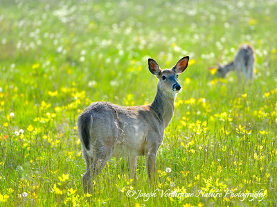 White-tailed Deer enjoying a spring meadow