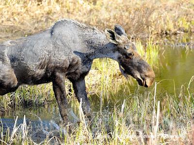Moose making a splash