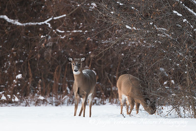 White-tailed deer foraging in winter (2)