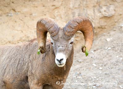 Rocky Mountain Bighorn Sheep Ram stares