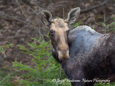 Bull Moose in early spring