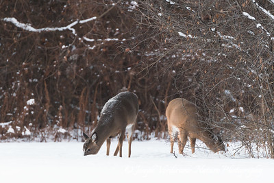 White-tailed deer foraging in winter (1)