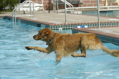Georgie Smith, a golden retriever from Middleburg, dives into the Lewisburg Community Pool on Tuesday during a doggie dip event.