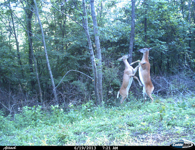 Cuddeback Cam - Deer Fighting in June Photo by Dorcas Dailey, Herndon