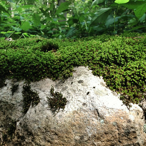 Moss grows on top of a rock at R.B. Winter State Park on Thursday.