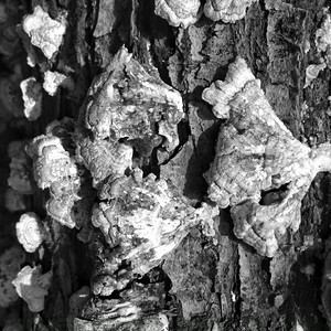 Fungal growth on a dead tree at R.B. Winter State Park on Thursday converted to black and white in Snapseed.