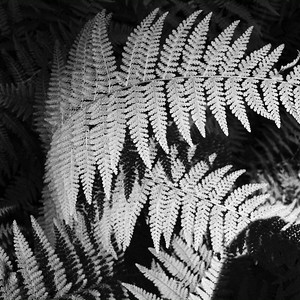 Sunlight hits the tops of a grove of ferns at R.B. Winter State Park on Thursday and converted to black and white in Snapseed.