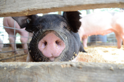 This pig looks up from a nap at the West End Fair in Laurelton on Monday morning.
