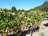 First stop, Casa Nuestra, where some of the grapes are still on the vine, just about to be picked.
