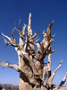 Beau in a bristlecone pine under a beautiful blue sky