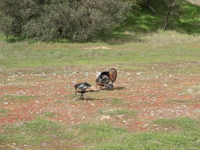 On March 15, two turkeys set out to ride the whole American River Bikeway. Along the way we spotted some wild turkeys doing their springtime thing...
