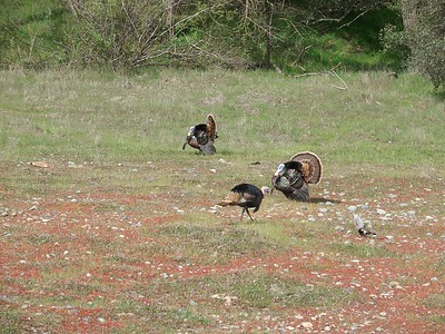 Most of the year the wild turkeys (which are plentiful in the area) all look about the same, have little color on them, and don't puff up or show off.
