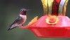 Broad-tailed Hummer. Looks like a Rubythroat, but RT Hummingbirds don't hang out in the Mountains of Colorado.