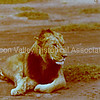 Lion at Amboseli National Park in Kenya, 1979