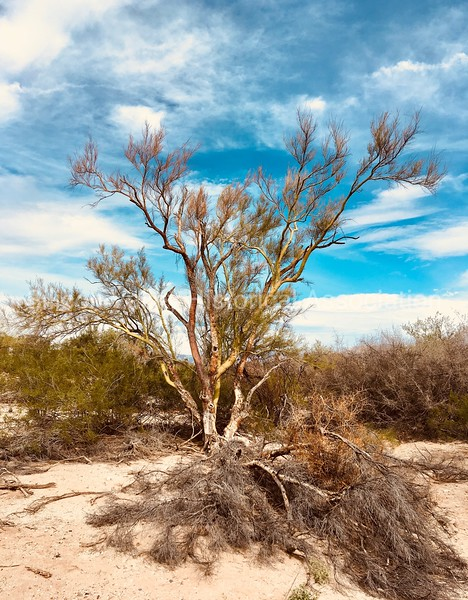 Trees in a desert wash