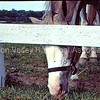 Horse grazing by a white fence