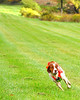 Beautiful Casey, Brittany Spaniel, breeding stud and upland field dog.