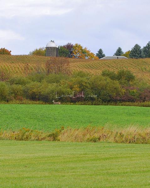 Doe fleeting to hedgerow through alfalfa field.