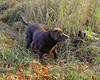 Sable, Chocolate Labrador