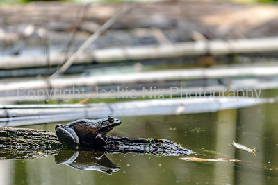 Bullfrog in the pond in the Bamboo Forest