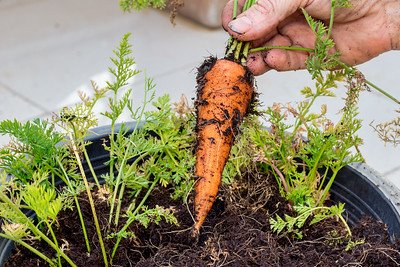 Carrots, Royal Danish Embassy Rooftop Garden