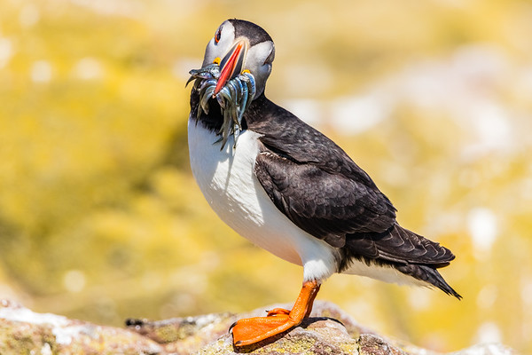 You want one? - Atlantic Puffin with Sandeels