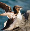 I got me some fish - Razorbill, Farne Islands