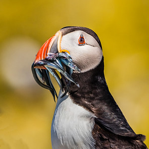 Mouthful - Atlantic Puffin, Staple Island