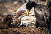 Nest Building Class - Shag & Chicks, Farne Island
