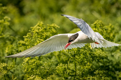 Low Flight - Arctic Tern, Farne Island
