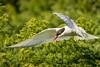 Low Flight - Arctic Tern, Farne Island